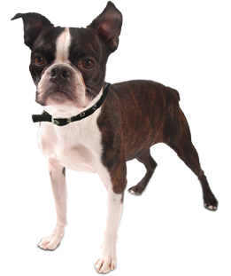 Boston terrier rescue winnipeg