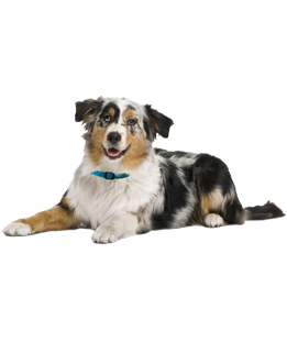 Australian Shepherd Puppies Amp Dogs For Adoption