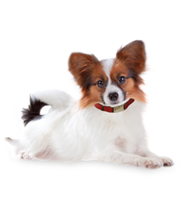 Papillon Dogs Puppies Breed Information Profile Papillons - Polyvore