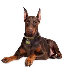Doberman Puppies Amp Dogs For Adoption