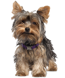 yorkie puppies amp dogs for adoption