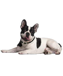 adopt french bulldog french bulldog puppies dogs for adoption 3501