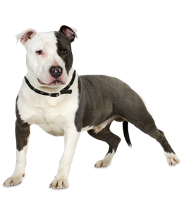 pit bull puppies amp dogs for adoption
