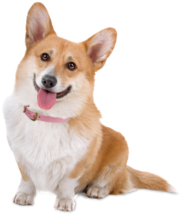 Image result for corgi dog